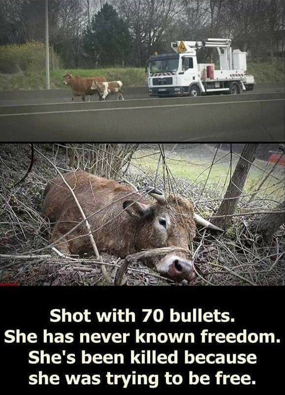 shot cow